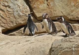 Brillenpinguin #2 - Pinguin, Tier, Zootier, Vogel, Wildtiere, Zootiere, Wassertier, schwarz, weiß, gefährdet, Meeresvogel, African penguin, Blackfooted penguin, Jackass penguin, Pinguine, Kolonie, Gefieder, wasserdicht