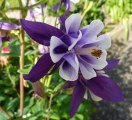 Akelei - Akelei, Hahnenfussgewächs, Staubblätter, Blüte, blau, gespornte Blütenblätter