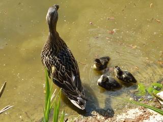 Entenfamilie#1 - Ente, Entenküken, Entenfamilie, Vogel, Vögel, Familie, schwimmen, Wasservogel, Küken