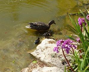 Entenfamilie#3 - Ente, Entenküken, Entenfamilie, Vogel, Vögel, Familie, schwimmen, Wasservogel, Küken
