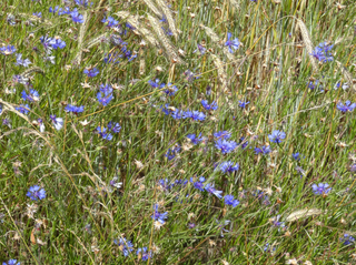 Kornblumen #1 - Kornblume, Getreide, Roggen, Blüte, Korbblütengewächs, Blüte, blau, Blume, Naturschutz, Heilpflanze, einjährig, Centaurea cyanus