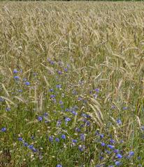 Kornblumen #4 - Kornblume, Getreide, Roggen, Blüte, Korbblütengewächs, Blüte, blau, Blume, Naturschutz, Heilpflanze, einjährig, Centaurea cyanus