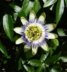 Passionsblume - Blüte, Passionsblume, geöffnet, Symbol, Passiflora caerulea, Strahlenkranz, Kletterpflanze