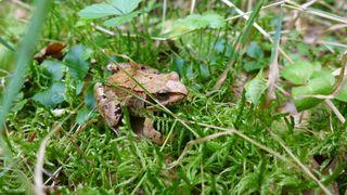 Springfrosch - Frosch, Springfrosch, rana dalmatina