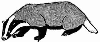 Dachs - Dachs, Badger, Säugetier, Tier, Wildtier, Marder, Grimbart, Fell, schwarz, weiß, Krallen, Schwanz, Zeichnung, Anlaut D