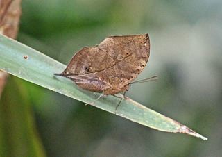 Indischer Blattfalter - Schmetterling, Falter, Blatt, Tarnung, Schutz, Insekt, Natur, fliehen, Flügel