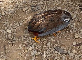 Chinesische Zwergwachtel sitzend - Wachtel, Wachteln, Vögel, Hühnervogel, Huhn, klein, Henne, Hahn
