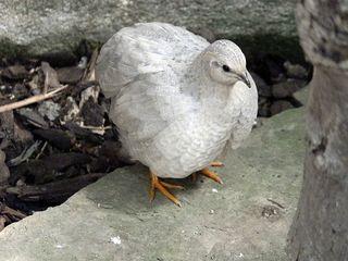 Chinesische Zwergwachtel - Wachtel, Wachteln, Vögel, Hühnervogel, Huhn, klein, Henne, Hahn, weiß