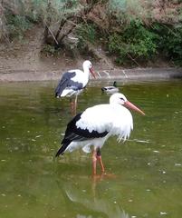 Storch - Natur, Tier, Vögel, Zugvögel, groß, schwarz-weiß, Storch, Weißstorch