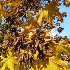 Ahornsamen - Ahornbaum, Herbst, Blattfärbung, Herbstfarben, Herbstlaub, Laub, Blätter, Ahorn, bunt, Laubbaum, Blatt, Samen