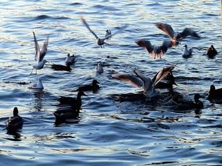 Wasservögel - flattern, fliegen, Vögel, Ralle, Ente, Stockente, Rallen, Enten, Möwe, Möwen, schwimmen, Wasser, See, Wasservögel, Geflügel
