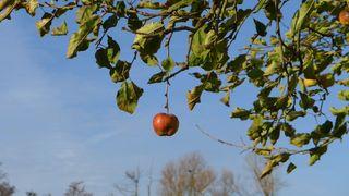 Apfel - Apfel, Kernobstgewächs, Rosengewächs, Obst, Frucht, Herbst, Apfelbaum, Ernte