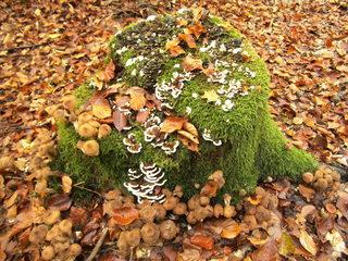 Baumpilze im Herbst - Baumpilz, Hallimasch, Pilz, Holzpilz, Waldpilz, Waldboden, Wald, Holz, Faulholz