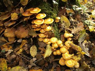 Baumpilz - Schirmpilz, Baumpilz, Pilz, Holzpilz, Waldpilz, Waldboden, Wald, Holz, Faulholz