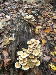 Baumpilz Stockschwämmchen - Schirmpilz, Baumpilz, Pilz, Holzpilz, Waldpilz, Waldboden, Wald, Holz, Faulholz
