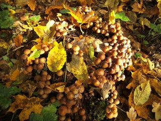 Baumpilz im Herbst - Schirmpilz, Baumpilz, Samtfußrübling, Pilz, Holzpilz, Waldpilz, Waldboden, Wald, Holz, Faulholz