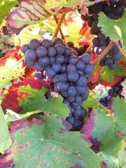 Blaue Weintrauben - Wein, Traube, blau, Wein, Weinlese, Landwirtschaft, Weinbau, Trauben, Weintrauben, Herbst