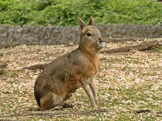 Pampashase - Mara - Pampashase, Nagetier, Mara, hasenähnlich, Säugetier, wild, Meerschweinchen