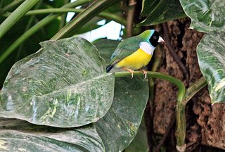 Gouldamadine - Vögel, Vogel, Fink, Prachtfink, Ziervogel, Singvogel, farbenprächtig, Farbe, farbig, bunt, fliegen, Schwarmvogel, auffällig