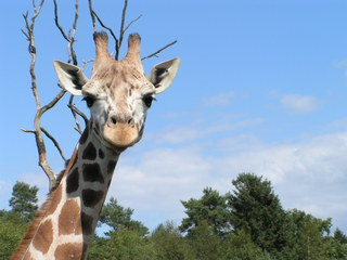 Giraffe - Tier, Giraffe, Wildtier, Zootier, Pflanzenfresser, Afrika, Paarhufer, Wiederkäuer, Kopf, Tierpark, Tarnung, Camouflage