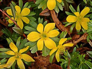 Winterling gelb - Winterling, Blume, Eranthis hyemalis, Hahnenfußgewächs, Blüte, gelb, Frühling, Frühblüher, Pflanze, Schneeblüher, Kältekeimer