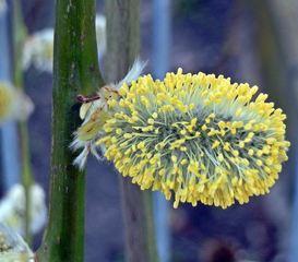 Weidenkätzchen - Weide, Weidenkätzchen, Frühblüher, Frühling, März, Blütenstand, Frühjahr, blühen, Blätter, Salix, zweihäusig, männlich, weiblich, Kätzchen, Weidenkätzchen, Palmkätzchen, Blüte, Pollen