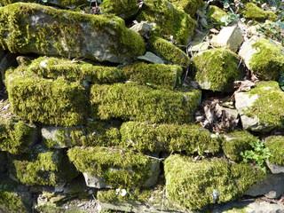 Moos - Pflanze, bewachsen, wachsen, Moos, Moose, Mauer, grün, Pflanzen