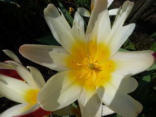 Tulpe von Innen - Tulpe, Stempel, Blüte, Frühling, Frühjahr, Staubblätter, Frühblüher