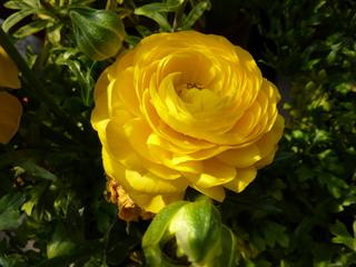 Gelbe Ranunkel - Ranunkel, gelb, Hahnenfußgewächs, Frühblüher, krautig, mehrjährig, Blüte
