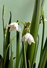 Märzenbecher - Frühblüher, Blüte, Staubgefäße, Pollen, Frühjahr, Frühling, weiß, Frühlingsknotenblume, Märzbecher, Knospe