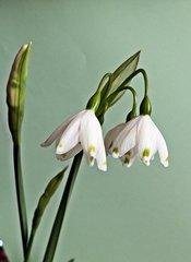 Blüte des Märzenbecher - Frühblüher, Blüte, Staubgefäße, Pollen, Frühjahr, Frühling, weiß, Frühlingsknotenblume, Märzbecher, Knospe, Frühling