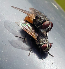 Zwei Fliegen bei der Paarung #1 - Fliege, Fliegen, Paarung, Begattung, Vermehrung, Geschlechtsakt, Sex, Flügel, Facettenaugen, zwei, Paar, männlich, weiblich, Zweiflügler, Insekt, Fluginsekt