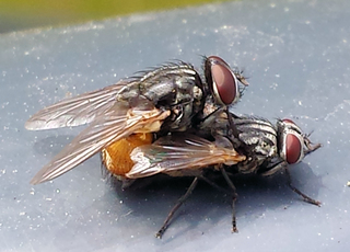 Zwei Fliegen bei der Paarung #2 - Fliege, Fliegen, Paarung, Begattung, Vermehrung, Geschlechtsakt, Sex, Flügel, Facettenaugen, zwei, Paar, männlich, weiblich, Zweiflügler, Insekt, Fluginsekt