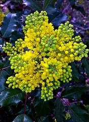 Blüte Mahonie - Blüte, gelb, Mahonie, Sanddorngewächs, Stechpalme, Strauch, Bienenweide, blühen, Ilex, Blätter, immergrün, Zierpflanze