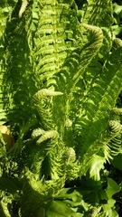 Farn - Farn, Farnkraut, Garten, grün, Natur, Gefäßsporenpflanze, Wald, Sporen