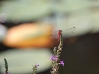Libelle - Libelle