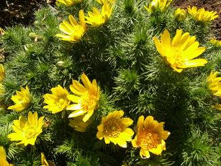 Frühlings-Adonisröschen - Frühlings-Adonisröschen, Frühlings-Adonis, Adonisröschen, Hahnenfußgewächs, Naturschutz, Heilpflanze