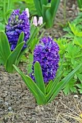 Hyazinthe - Hyazinthe, Blume, Frühblüher, Frühling, Frühjahr, Zwiebelgewächs