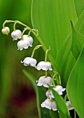 Maiglöckchen Blütenstand - Maiglöckchen, Frühblüher, giftig, Duft, duftend, riechend, Mäusedorngewächs, traubig, Blütenstand, Frühblüher, Wildpflanze