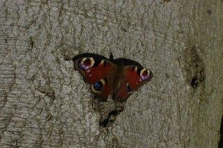 Tagpfauenauge - Tagpfauenauge, Pfauenauge, Schmetterling, Sachunterricht, Entwicklung, Falter, Schmetterlinge, Insekten, flattern, leicht, bunt, Rinde, Fühler
