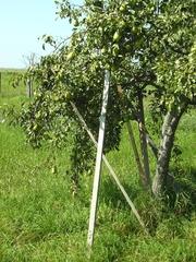Birnbaum  - Birnbaum, Frucht, Herbst, Stütze, Birne, Obst, Obstbaum, Kernobst
