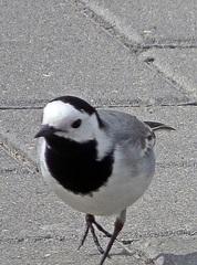 Bachstelze #1 - Vogel, Vögel, Zugvogel, Motacilla alba, Stelzen, Pieper, Singvogel, Sperlingsvogel
