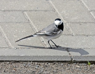 Bachstelze #2 - Vogel, Vögel, Zugvogel, Motacilla alba, Stelzen, Pieper, Singvogel, Sperlingsvogel