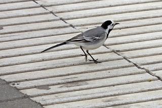 Bachstelze #3 - Vogel, Vögel, Zugvogel, Motacilla alba, Stelzen, Pieper, Singvogel, Sperlingsvogel