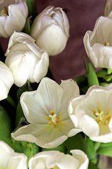 Tulpenblüten - Tulpe, Tulipa, Liliengewächs, Zwiebelblume, Frühling, Frühjahr, Frühblüher, Schnittblume, Blüte, weiss, Blüten, Vorlage, Grußkarte, Schreibanlass, Impuls