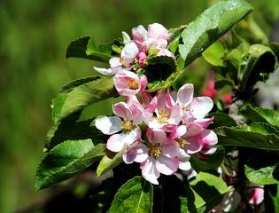 Apfelblüte - Nutzpflanze, Garten, Gartenbau, Frühling, Apfel, Apfelblüte, Knospe, Blüte, Blütenblatt, Kronblatt, Staubblatt, fünf, Obst