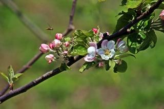 Zweig mit Apfelblüten - Nutzpflanze, Garten, Gartenbau, Frühling, Apfel, Apfelblüte, Knospe, Blüte, Blütenblatt, Kronblatt, Staubblatt, fünf, Obst, Zweig