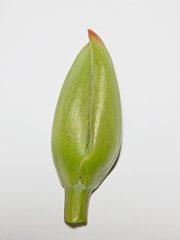 Knospe einer Tulpe - Pflanzenteil, Knospe, Tulpe, grün, Pfanze, Frühblüher, Frühling, Tulpe, Tulipa, Liliengewächs, Zwiebelblume, Schnittblume, Blütenhüllblätter, Blatt, Blätter