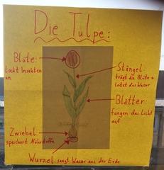 Die Tulpe - Aufbau - Tulpe, Aufbau, Bestandteile, Poster, Plakat, Stängel, blätter, Stiel, Zwiebel, Blumenzwiebel, Wurzel, Blüte