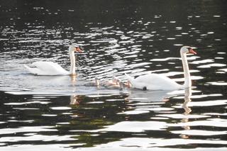 Familie Schwan - Schwan, Familie, Vögel, Wasser, Vogel, Küken, schwimmen, Schwäne, Wasservogel, Höckerschwan, Schnabel, weiß, Jungschwan